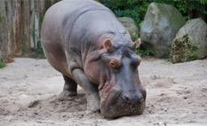 Murió un hipopótamo en Alemania por comerse una pelota de tenis