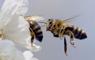 En 15 años, Chile podría perder las abejas o convertirse en su último refugio