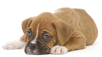 No des las sobras del asado a tu mascota: Consultas médicas aumentan 40% en esta fecha
