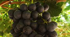 Temporal en el norte: Exportadores alertan sobre daños en la uva
